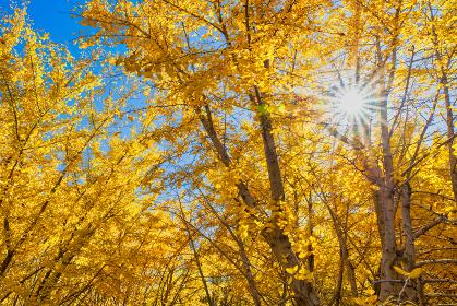 黄金色の太原イチョウ並木【福岡県】