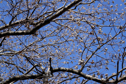 葉の落ちた枝にたくさんのナンキンハゼの種