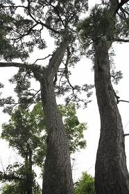 奥の細道 二木の松