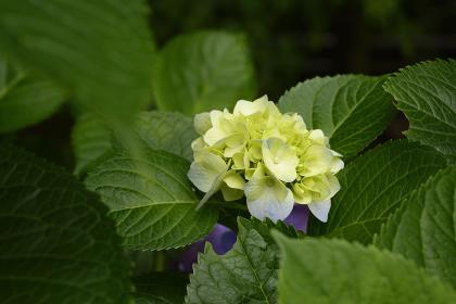 玉川上水の紫陽花