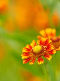 ビタミンカラーの花ヘレニウム