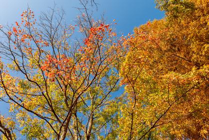 紅葉した雑木林の木々 11月