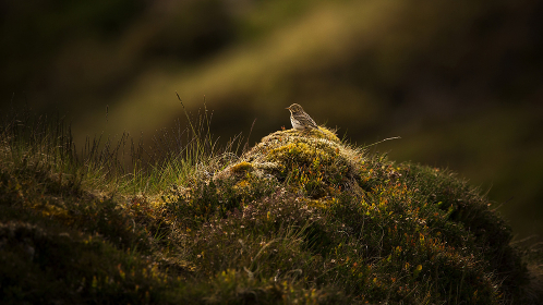 A meadow pipit bird sat on a mound of grass