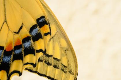美しい模様を持つアゲハ蝶