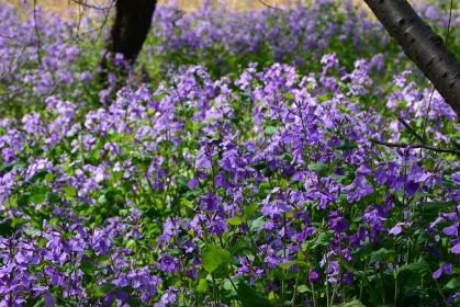 美しい紫色の花を咲かせたハナダイコンの花畑