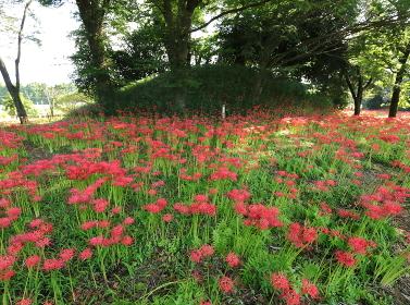 七つ森古墳群の満開の彼岸花