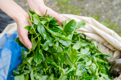 収穫直後の茶葉を持つ女性の手 新茶 宇治茶 京都府和束町
