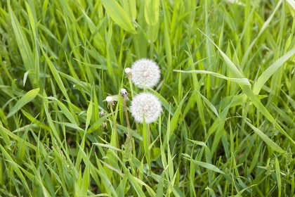 野原に咲くタンポポ