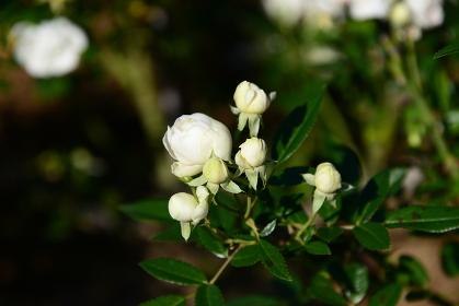 白系の色のバラ
