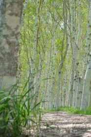 白樺並木道