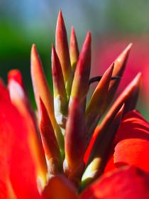 トロピカル植物カンナのつぼみ