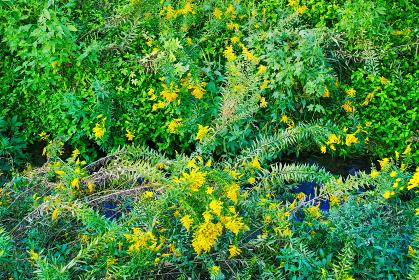 河川で繁茂したセイタカアワダチソウなどの雑草