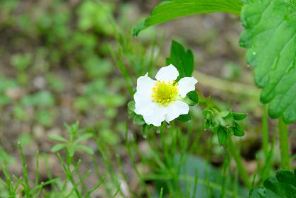 イチゴの小さな可愛い花