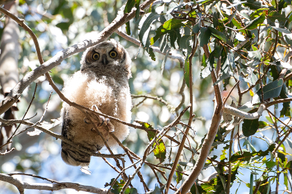 Great Horned Owl fledgling perched on tree branch with wide eyes