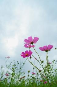 空に向かって咲くピンクのコスモスと蕾