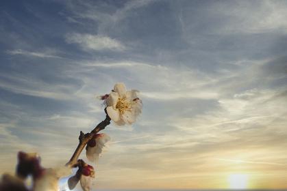 夕日に映える、満開の白梅の枝をクローズアップ