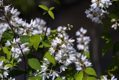 卯の花咲く明日香村冬野川 尾増