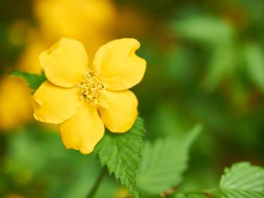 黄色い一輪のヤマブキの花
