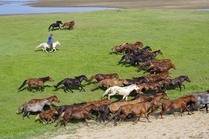 放牧馬を追い込む遊牧民