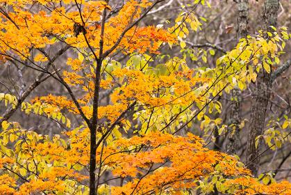 日本の百名山・10月、八ヶ岳の紅葉・山梨