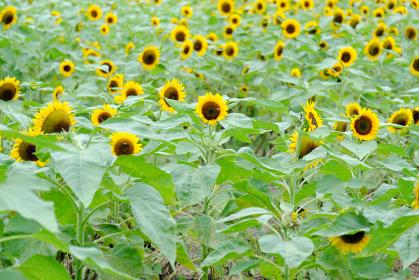夏に元気になる沢山の向日葵