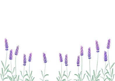 ラベンダー 春 夏 花 背景 フレーム 水彩 イラスト