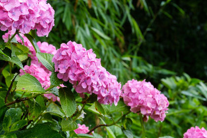 ピンクのあじさい 梅雨イメージ しずく