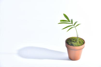 小さな植木鉢に植えた観葉植物 テーブルヤシ