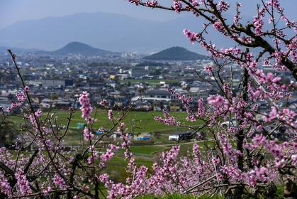 桃の花咲く山の辺の道