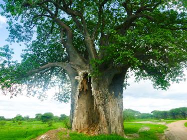 タンザニア・ンゴロンゴロ国立公園で内部空洞化し樹皮のみになった巨木