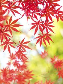 紅葉したカエデの葉