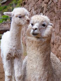 ペルー・クスコ近郊の牧場で白い親子のアルパカが寄り添う様子