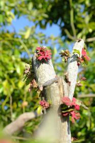 新芽を出す生命力の強い木