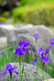満開に咲いた青いアヤメ