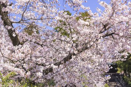 仙台の東照宮神社と桜