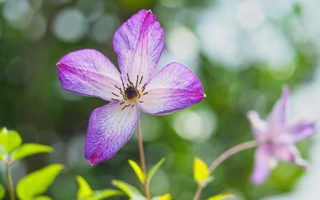 紫色の花クレマチス