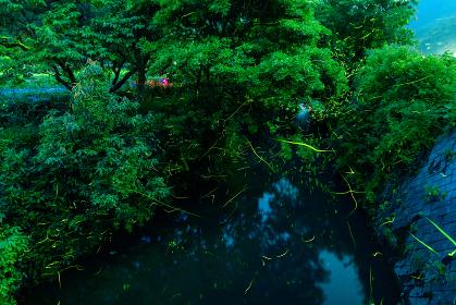 夜の小川を飛び回るホタル