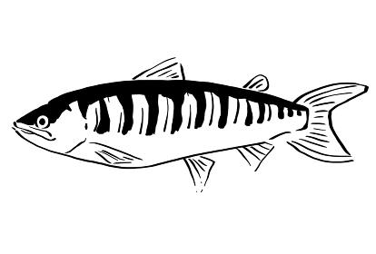 サケの線画イラスト