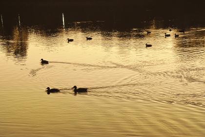 朝焼けの映る洗足池とカルガモ