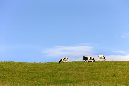 日本・北海道東部の弟子屈町、牧場の牛