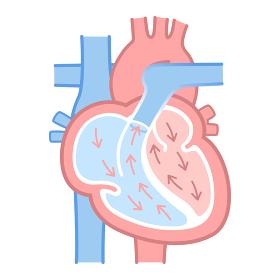 心臓のイラスト・図説(血液の流れ・文字なし)