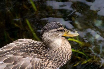 水面を泳ぐ鴨