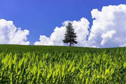 美瑛・パッチワークの丘の一本の木
