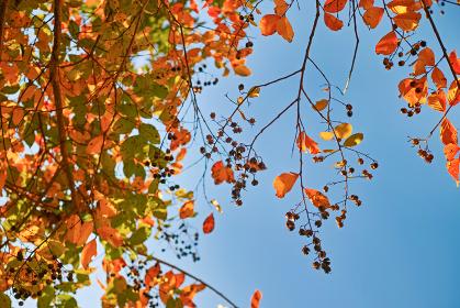 青空背景の下から見上げた実のついたサルスベリの紅葉
