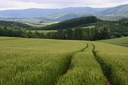 北海道・美瑛の広々とした麦畑