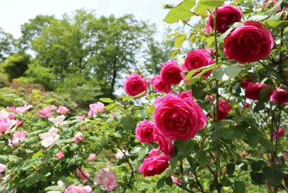 見頃を迎えたローズガーデンの薔薇