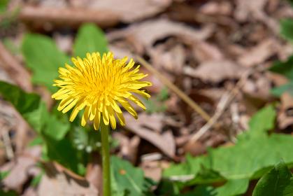 一輪のシンプルなたんぽぽの花