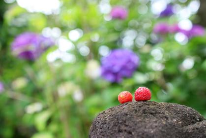 岩に乗ったヤマモモ