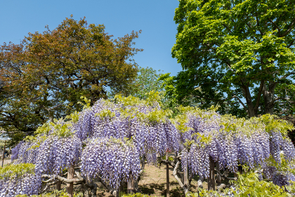 晴れの日と満開の藤の花 4月