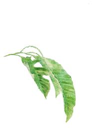 栗の花 栗の木【水彩】